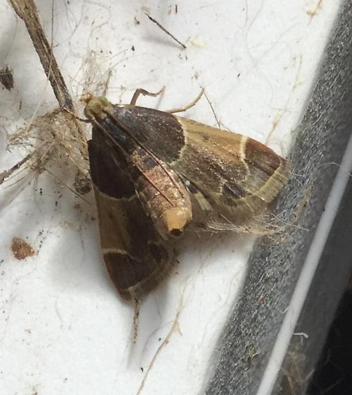 Small moth, brown tones, in rabbit barn with open ends - Pyralis farinalis - female