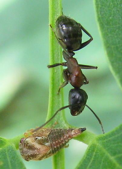 Ant & aphid? - Camponotus novaeboracensis