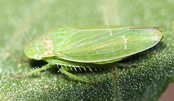 Green Leafhopper on Burdock leaf - Gypona