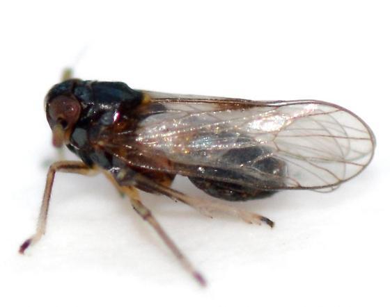 Delphacid - Pissonotus binotatus