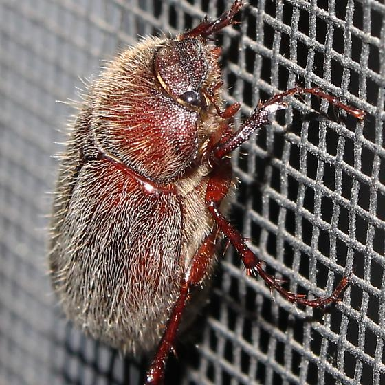 Hairy, fat red beetle - Phyllophaga crenulata