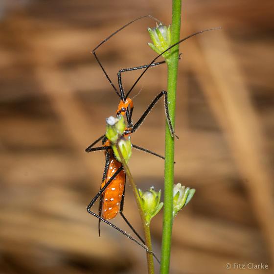 Reduviidae-Assassin Bug - Zelus longipes