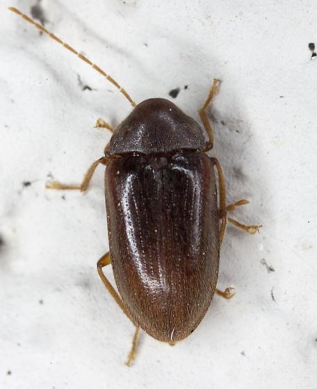 Beetle IMG_0119 - Ptilodactyla - female