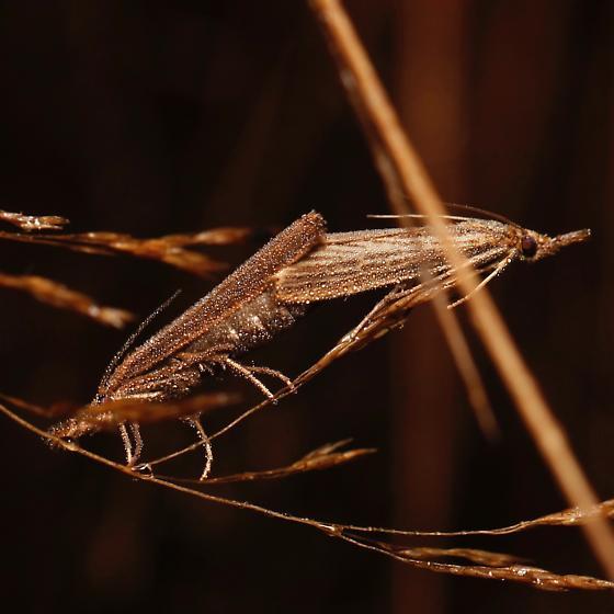 Agriphila vulgivagellus - male - female