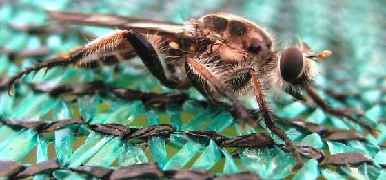 Asilidae - unknown genus and species - Andrenosoma xanthocnemum