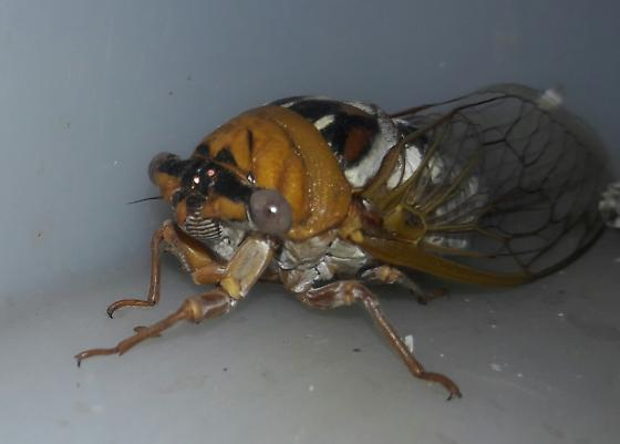 Unusually marked cicada found in hurst, tx - Megatibicen dealbatus