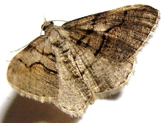 Geometrid Moth - Digrammia excurvata