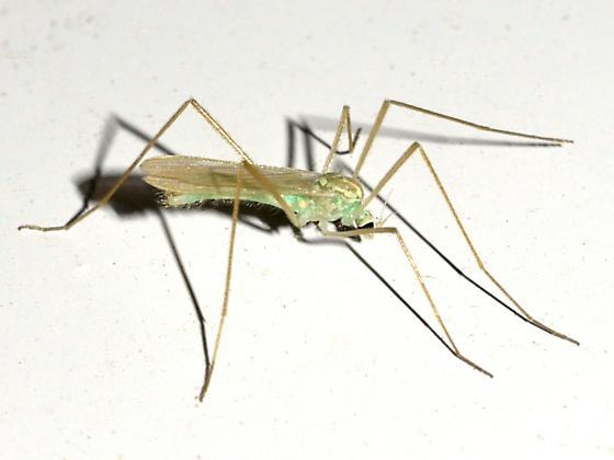 Crane Fly - Erioptera - male