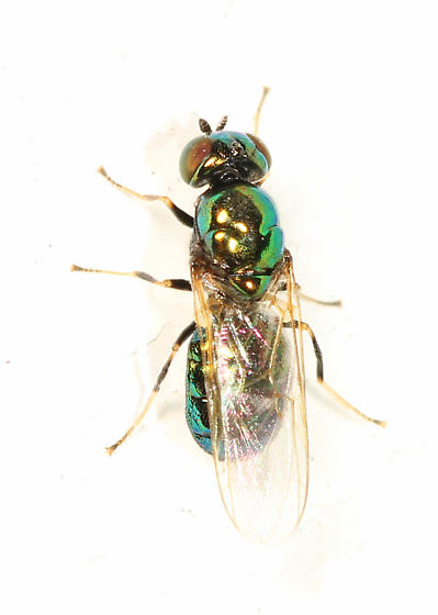 small fly that reflects a blue-green color - Soldier Fly? - Microchrysa polita - female