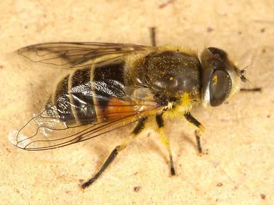 Fly or Bee ? - Eristalis arbustorum