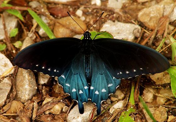Pipevine Swallowtail - Battus philenor - Battus philenor - male