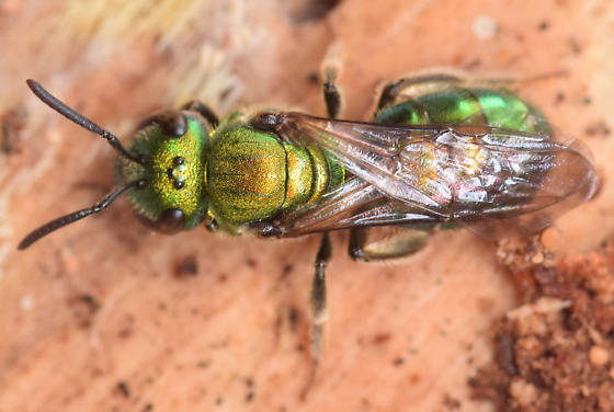 pure green augochlora - Augochlora pura - female