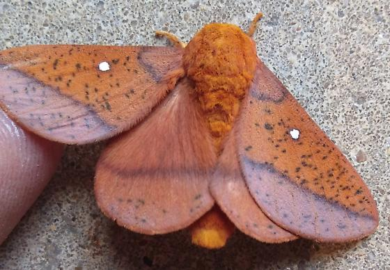 orange-red and purple moth with two white eyespots - Anisota stigma - male