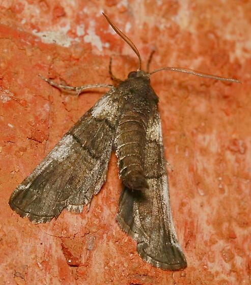 Moth - Ceratonyx permagnaria - male