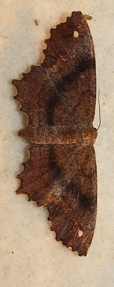 moth - Hypagyrtis esther - female