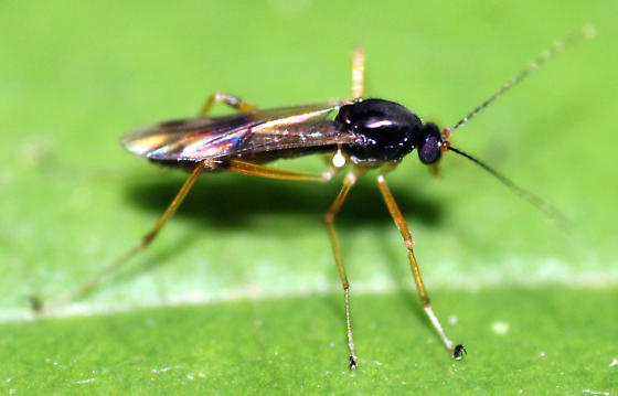 Fly - Clinohelea bimaculata - female