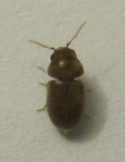 I thought this was bedbug, but it flys! - Lasioderma serricorne