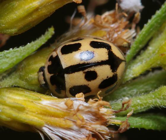 Propylea quatuordecimpunctata? - Propylea quatuordecimpunctata