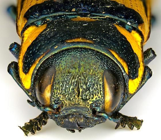 Thrincopyge alacris - female
