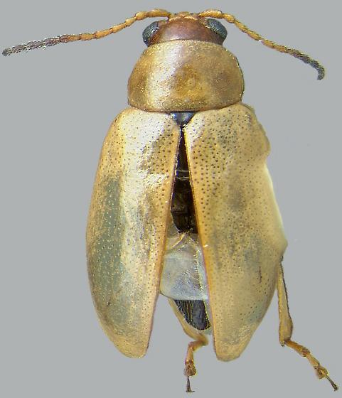 Aphthona nigriscutis