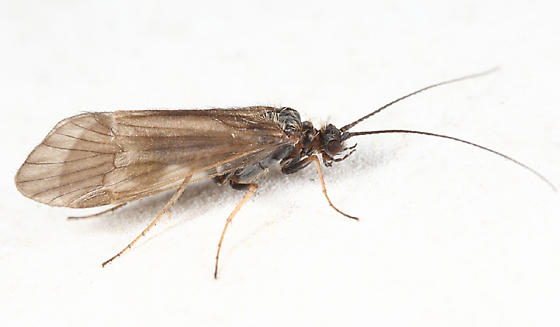 caddisfly - Apatania