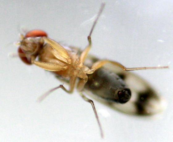 Vinegar Fly - Chymomyza amoena