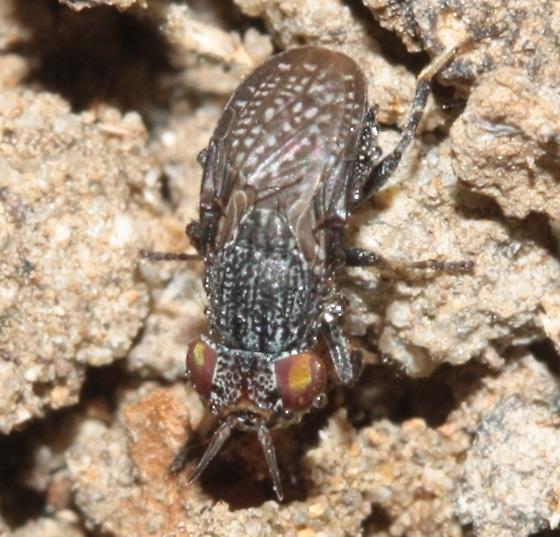 Small fly - Stictomyia longicornis