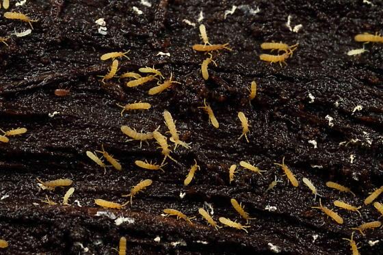 Elongate springtails - Vertagopus pseudocinereus