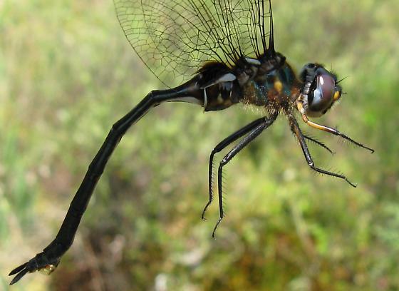 Somatochlora franklini - female