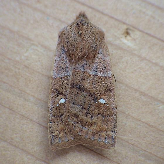 Noctuidae: Eupsilia vinulenta - Eupsilia vinulenta