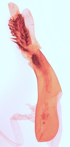 Acronicta - male
