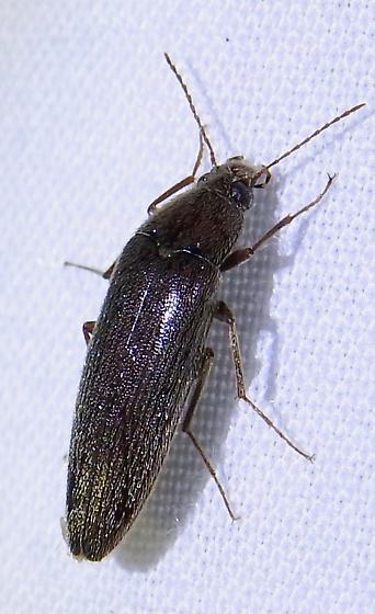 Elongated beetle - Synchroa punctata