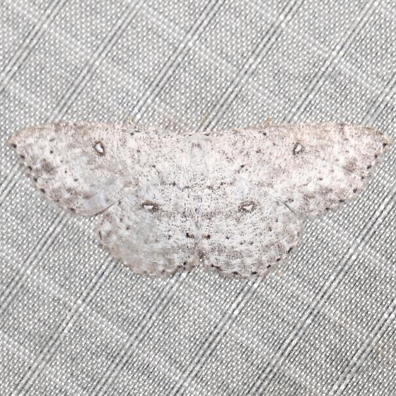 Cyclophora pendulinaria - female