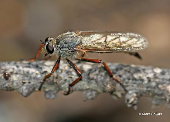 Neomochtherus californicus - female
