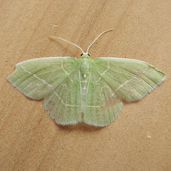 Geometridae: Nemoria mimosaria - Nemoria mimosaria - male