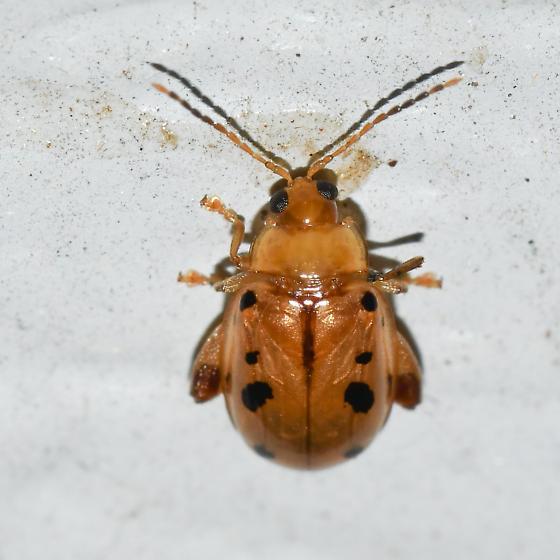 flea beetle at light - Capraita nigrosignata