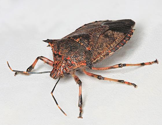 BG3134 F0002h - Alcaeorrhynchus grandis