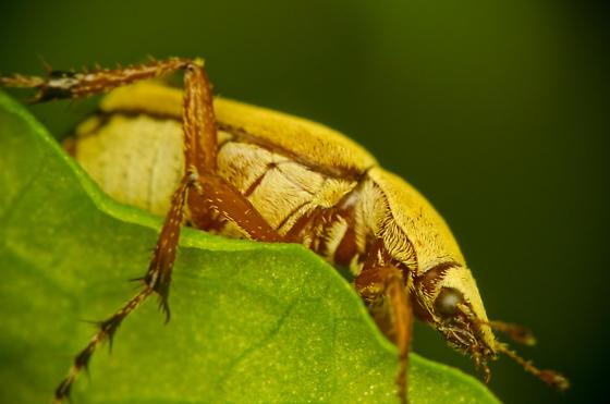Fuzzy Wuzzy was a beetle? - Macrodactylus