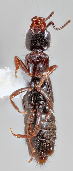 Staphylinidae
