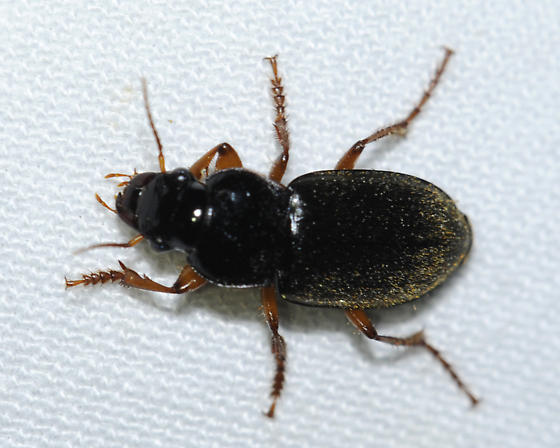 Harpalus sp. for i.d. - Harpalus rufipes