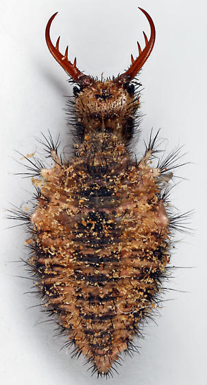 Antlion larva - Dendroleon obsoletus