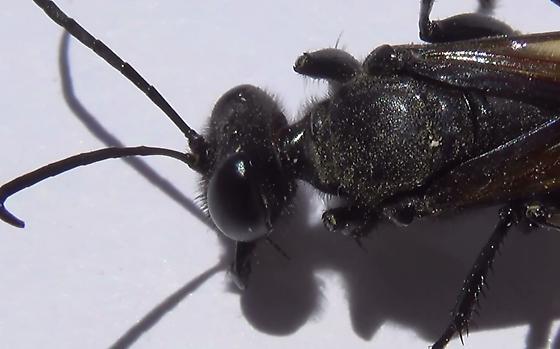 Thread-waisted Wasp Body Scan (head & thorax) - Sphex lucae - female