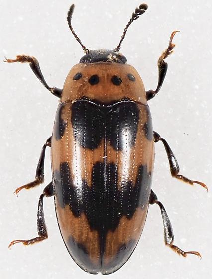 Ischyrus quadripunctatus - Four-Spotted Fungus Beetle - Ischyrus quadripunctatus