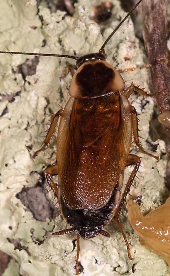 Cockroach for ID - Parcoblatta pennsylvanica