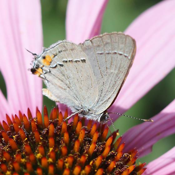 Hairstreak - Strymon melinus