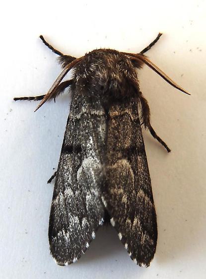 9182 – Panthea furcilla – Eastern Panthea - Panthea furcilla - male
