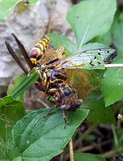 New Kind Of Cicada - Pacarina puella
