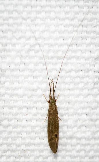 Caddisfly ID request - Oecetis