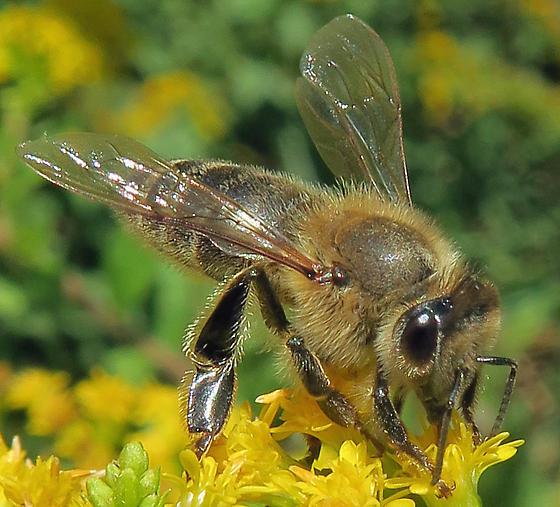 European Honey Bee - Apis mellifera