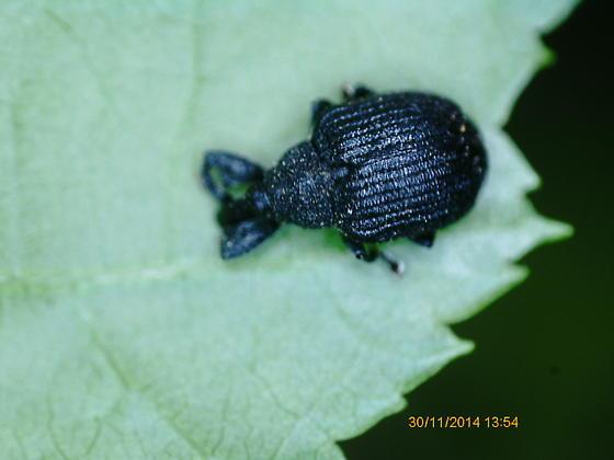 Lake Crabtree Coleoptera weevil 2 2020 2 - Odontopus calceatus